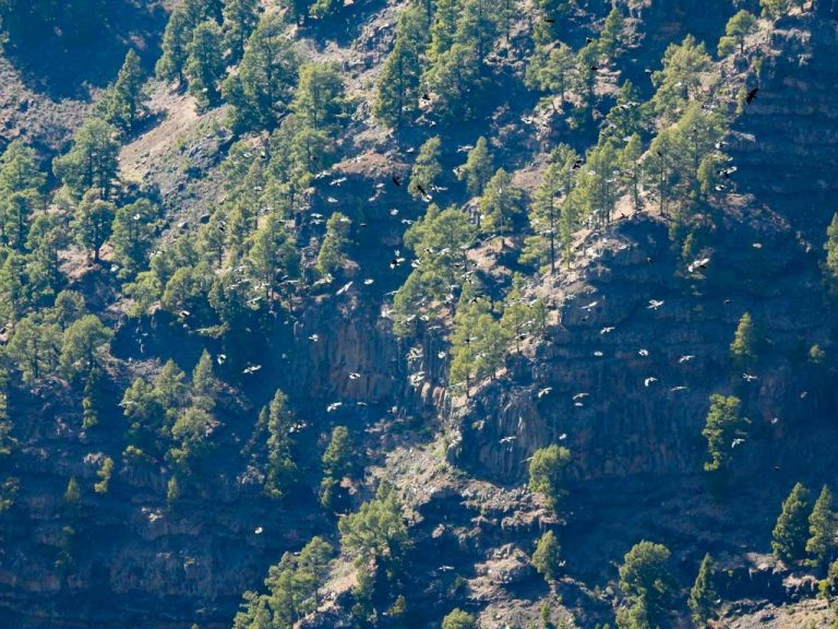 A huge chattering of choughs flies over the mountains of La Palma.