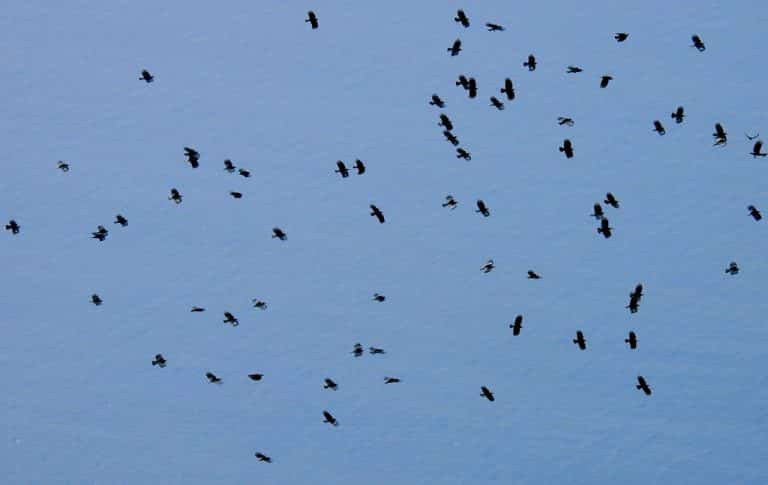 A chattering of choughs flies over the sea in La Palma.