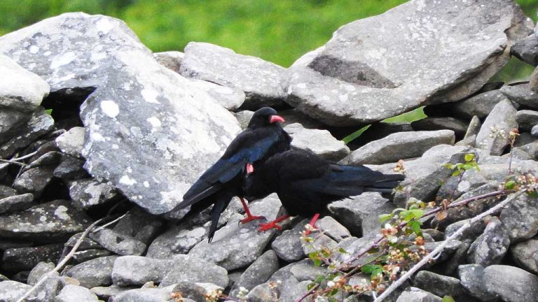 A couple of choughs in Ireland groom each other on a stone wall.